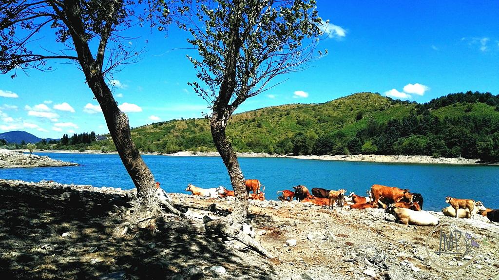Parco Aveto il Lago di Giacopiane mucche