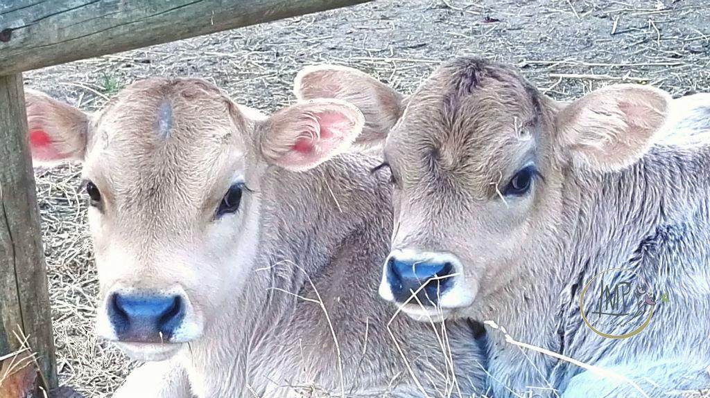 U Cabanin vitellini ultimi nati
