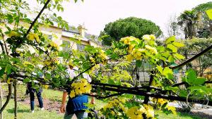 Euroflora 2018 Roseto Banksiae lutea