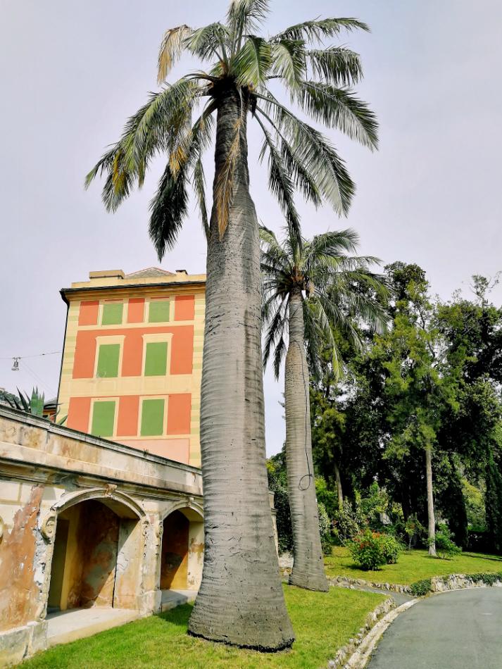 Cocco del Cile albero monumentale