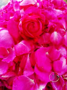 Petali di rosa antica con bocciolo