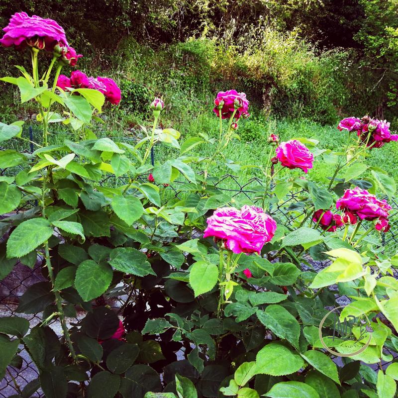 Rose antiche del nonno pianta