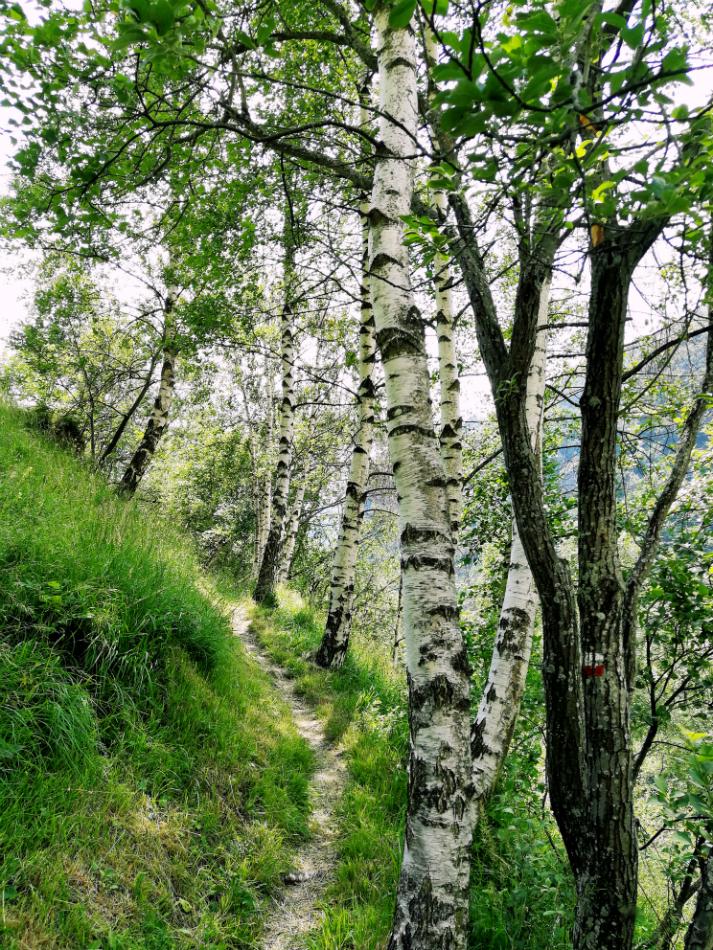 Verso Colletto di Castelmagno vegetazione betulle