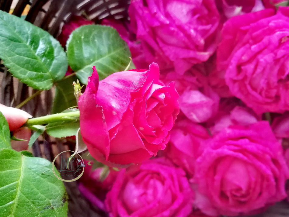 Raccolta delle rose del nonno per la confettura di rose